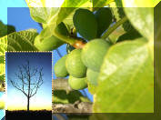 Luke 21 Barren Fig Tree Parable Sermon